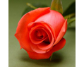 Salmon  Fresh Long Stem Roses Wedding 25 Two Dozen