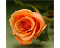 Bright Orange  Fresh Long Stem Roses Wedding 25 Two Dozen