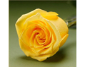 Yellow  Fresh Long Stem Roses Wedding 25 Two Dozen