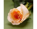 Peach  Fresh Long Stem Roses Wedding 25 Two Dozen