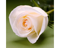White Cream Fresh Long Stem Roses Wedding 25 Two Dozen