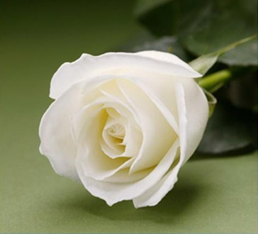 White Fresh Long Stem Roses Wedding 25 Two Dozen
