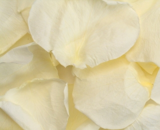 Light Ivory Freeze Dried Rose Petals Wedding Small Case 8 cups