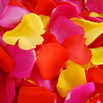 Yellow Red Hot Pink Fresh Rose Petals Wedding 3000