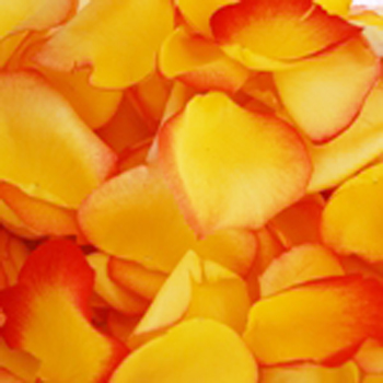 Yellow Red Fresh Rose Petals Wedding 500