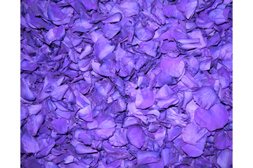Purple Plum Freeze Dried Rose Petals Wedding 1lb